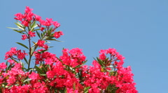 Oleander Blooms Stock Footage
