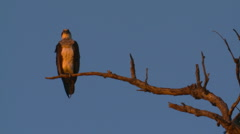 Osprey Sea Eagle Perched ja lepää Dead Tree Branch, Ilta Arkistovideo