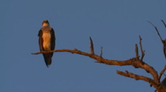 Stock Video Footage of Osprey Sea Eagle Perched and Resting on Dead Tree Branch, Evening