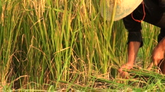 Worker cutting rice plants, China agriculture, traditional hat - stock footage