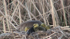 P01449 Canada Goose on Nest and Young Stock Footage