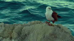 Eagle Sitting on Rocks - Brahminy Kite, Bald Sea Hawk, Slow Motion - stock footage