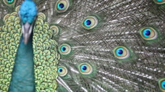 peacock - stock footage