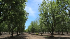 Pan Across Pecan Trees Stock Footage