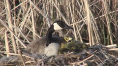 P01450 Canada Goose on Nest with Goslings Stock Footage