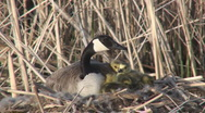 Stock Video Footage of P01450 Canada Goose on Nest with Goslings