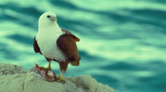 Eagle Sitting on Rocks - Brahminy Kite, Bald Sea Hawk, Slow Motion, Close-up - stock footage