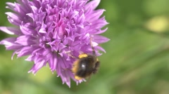 Bumble bee visiting a chive (Allium schoenoprasum) flower. Stock Footage