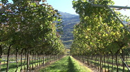 Italy Trento vineyard  with light on it Stock Footage