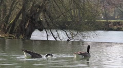 Canada Geese swimming next to weir, Maple Durham house, Oxfordshire Stock Footage