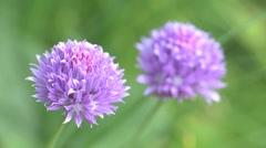 Chive flowers (Allium schoenoprasum) Stock Footage