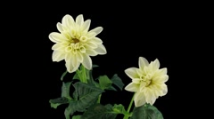 Stock Video Footage of Stereoscopic 3D time-lapse of opening white dahlia 1a (left-eye, DCI-2K)