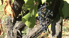 Italy Adige small grapes and old vine Stock Footage