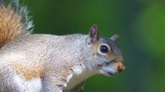 Grey Squirrel Stock Footage