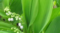 Lily of the valley Stock Footage