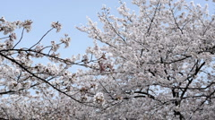 Japanese cherry blossom. Stock Footage