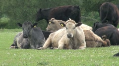 Herd of Cattle Sitting Down in Meadow and Looking at Camera Stock Footage