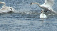 Aggressive Swans Fighting on Water Stock Footage