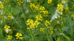 Small yellow flowers - stock footage
