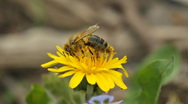 Bee and dandelion Stock Footage