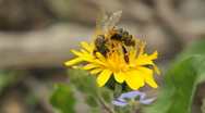 Bee collects nectar on dandelion Stock Footage