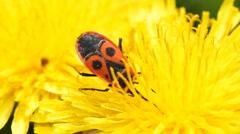 Firebug ( Pyrrhocoris apterus ) collects nectar on a dandelion Stock Footage