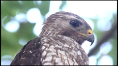 Red-Shouldered Hawk looks around from a tree branch Stock Footage
