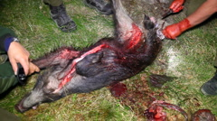 Wild boar getting its tail cut-off Stock Footage