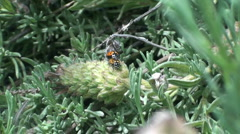 Ladybug mating dance Stock Footage