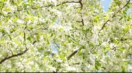 Stock Video Footage of Beautiful cherry tree flowering