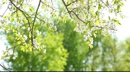 Stock Video Footage of White cherry tree flowers in contrast light