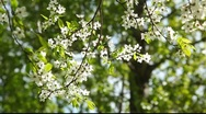 Branch with white flowers in the Sunlight Stock Footage
