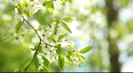Stock Video Footage of Close up view of the branch with white cherry flowers in the Sunlight