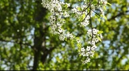 Stock Video Footage of Branch with white cherry flowers in the Sunlight