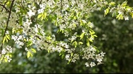 Stock Video Footage of Cherry tree with flowers