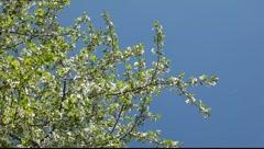 Cherry tree flowers agains blue sky Stock Footage