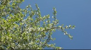 Stock Video Footage of Cherry tree flowers agains blue sky