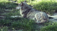 Stock Video Footage of Wolf relaxing