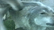 Wolf relaxing Stock Footage