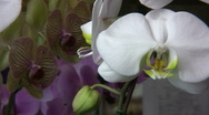 Stock Video Footage of Orchids  Petals Closeup