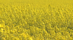 Farmland with flowering Canola flowers on Gotland in Sweden - stock footage