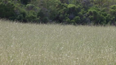 Field of dry grasses Stock Footage