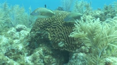 Brain Coral - stock footage