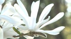 Magnolia flower Stock Footage