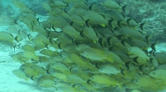 School Of Yellow and Black Fish Stock Footage