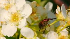Small bug on cherry tree flowers Stock Footage