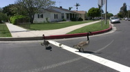 Canadian Geese on Road Stock Footage