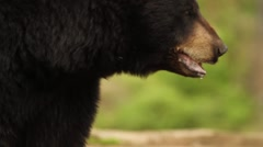 Close Up of Black Bear - stock footage