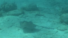 Sting Ray Swimming Across Bottom of Ocean Floor Stock Footage