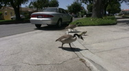 Geese and Goslings On Street Stock Footage